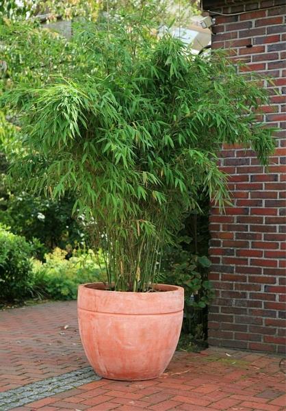 fargesia murielae jumbo immergr ner hecken bambus 40 60 cm hellgr n immergr n diesen. Black Bedroom Furniture Sets. Home Design Ideas