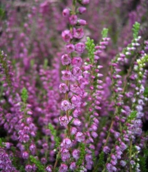 Besenheide Sommerheide Carmen Calluna vulgaris Carmen purpurrote Blüte
