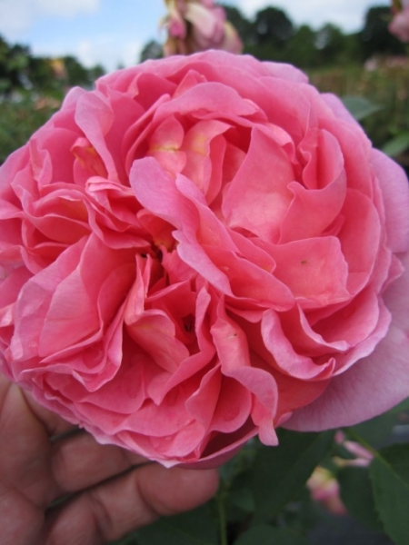 englische rose boscobel r englische rose www. Black Bedroom Furniture Sets. Home Design Ideas