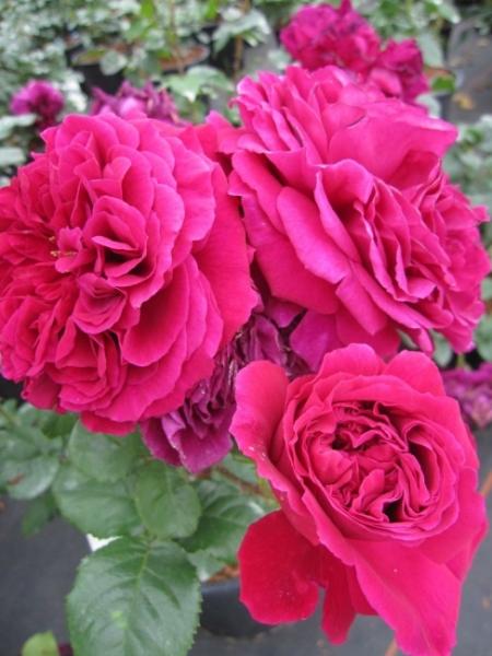 englische rose fishermans friend r englische rose. Black Bedroom Furniture Sets. Home Design Ideas