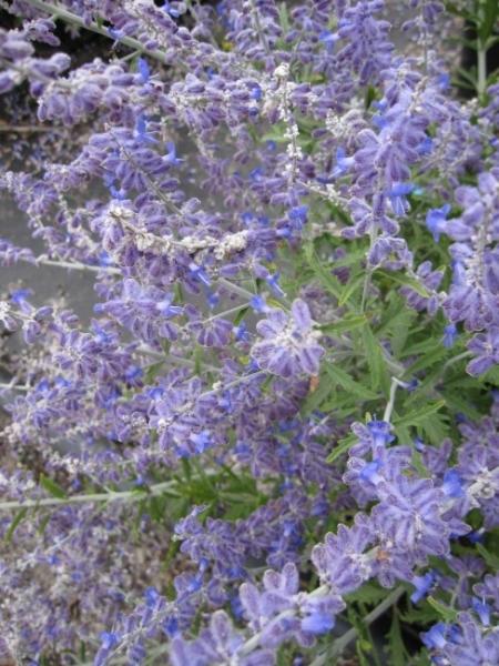 Blauraute Lacy Blue 30-40cm Perovskia atriplicifolia