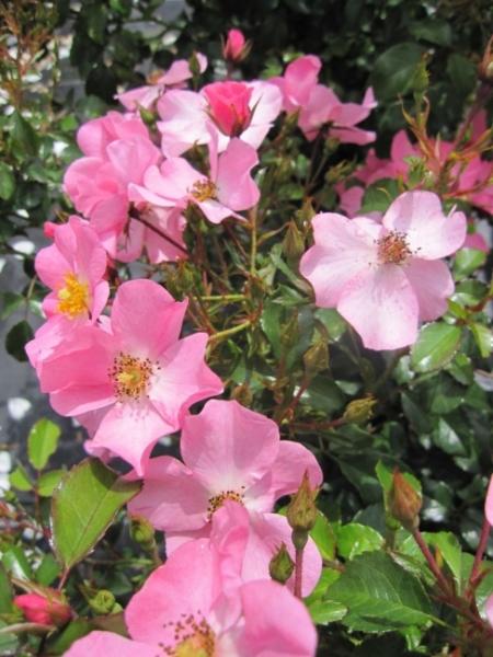 beetrose fortuna rosa fortuna lachsrosa bodendeckerrose kordes rose rigo rose adr. Black Bedroom Furniture Sets. Home Design Ideas