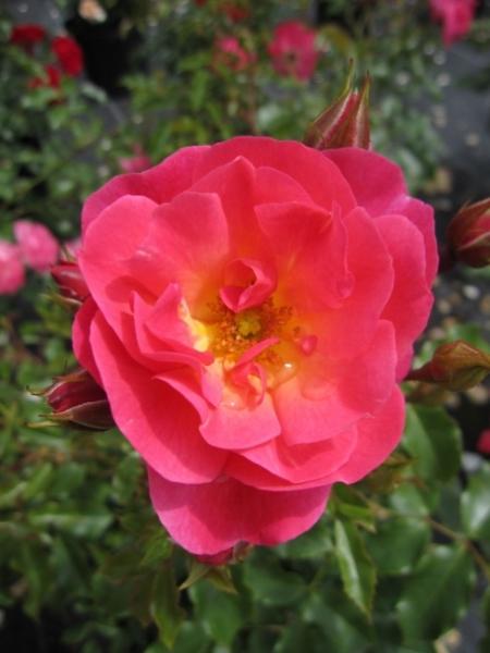 beetrose maxi vita rosa maxi vita bodendeckerrose orangerosa kordes rose rigo rose. Black Bedroom Furniture Sets. Home Design Ideas