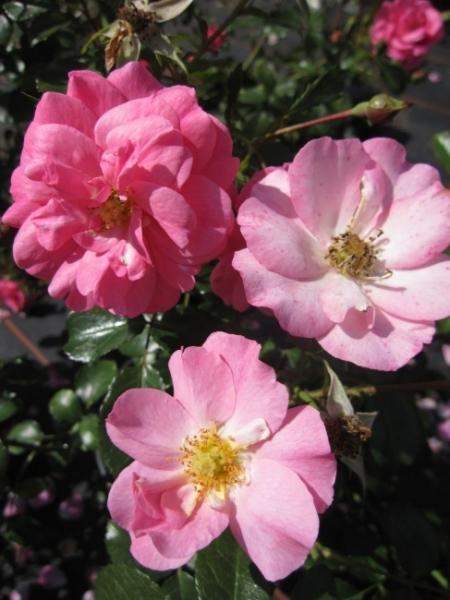bodendeckerrose mirato rosa mirato pink beetrose duft tantau rose adr rose. Black Bedroom Furniture Sets. Home Design Ideas