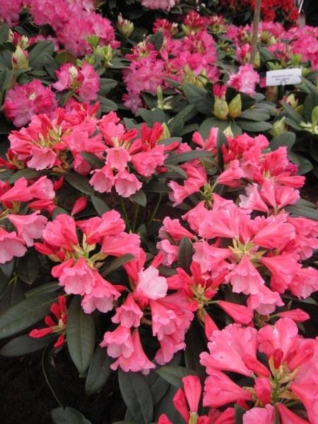 rhododendron yakushimanum belle de flore ball. Black Bedroom Furniture Sets. Home Design Ideas