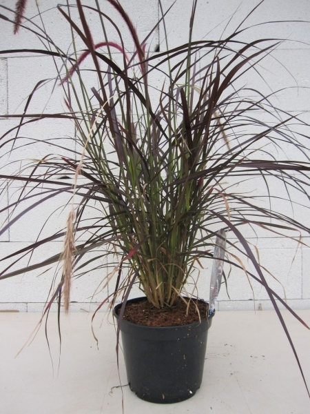 rotes federborstengras pennisetum setaceum rubrum rotes. Black Bedroom Furniture Sets. Home Design Ideas