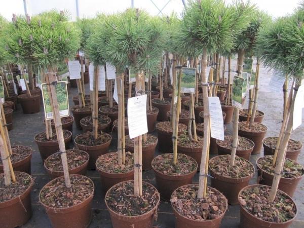 pinus mugo mops kugelkiefer mops hochstamm veredelt bonsai konifere. Black Bedroom Furniture Sets. Home Design Ideas