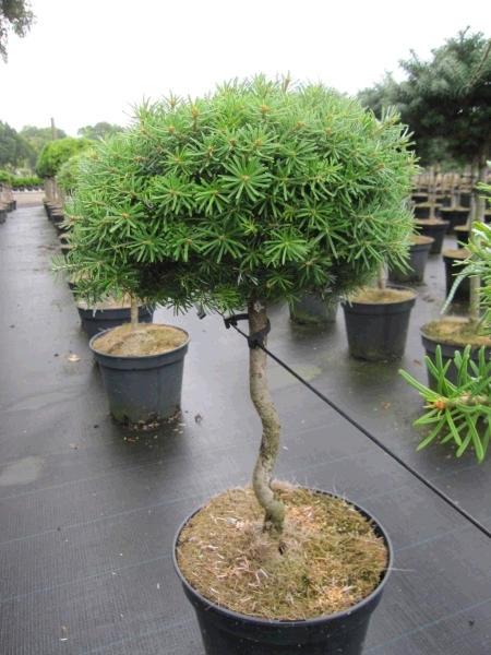 miniaturgeh lz flache zwerg koreatanne als bonsai geh lz im online shop der baumschule. Black Bedroom Furniture Sets. Home Design Ideas