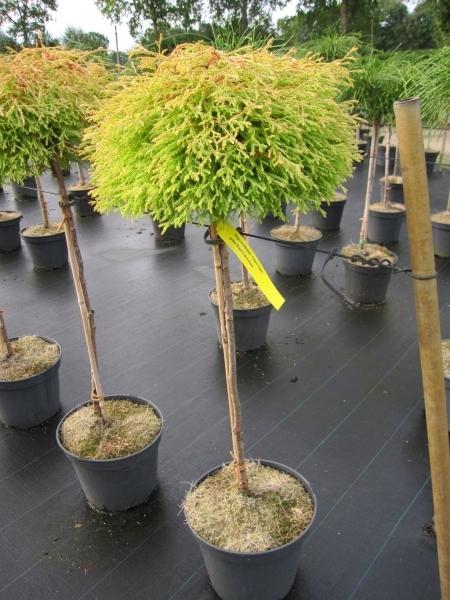 thuja occidentalis golden tuffet lebensbaum golden tuffet. Black Bedroom Furniture Sets. Home Design Ideas