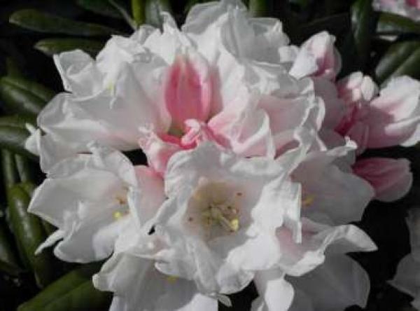 rhododendron yakushimanum edelwei 25cm 30cm www. Black Bedroom Furniture Sets. Home Design Ideas