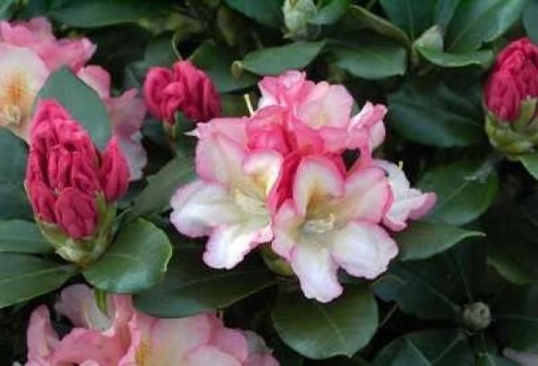 rhododendron yakushimanum napoli 25cm 30cm www. Black Bedroom Furniture Sets. Home Design Ideas