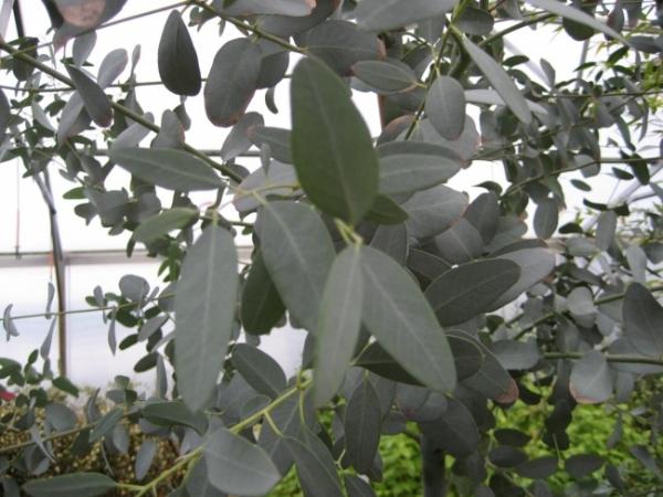 eucalyptus gunnii eukalyptus mostgummi eukalyptus eukalyptusbaum. Black Bedroom Furniture Sets. Home Design Ideas