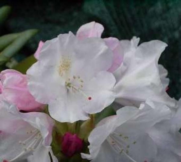 rhododendron yakushimanun grober typ 25 30cm www. Black Bedroom Furniture Sets. Home Design Ideas
