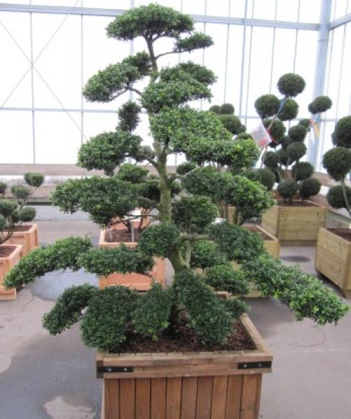 ilex crenata 39 kin me 39 bonsai 175 200 cm japanischer. Black Bedroom Furniture Sets. Home Design Ideas