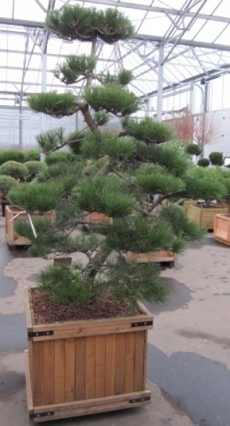 Pinus thunbergii bonsai japanische schwarzkiefer diesen for Bonsai versand