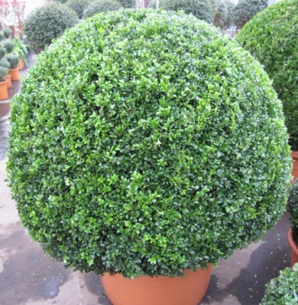 buxus sempervirens arborescens 39 kugel 39 formschnitt. Black Bedroom Furniture Sets. Home Design Ideas