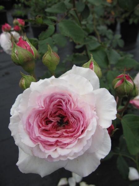 englische rose james galway hellrosa duft 50cm diese. Black Bedroom Furniture Sets. Home Design Ideas