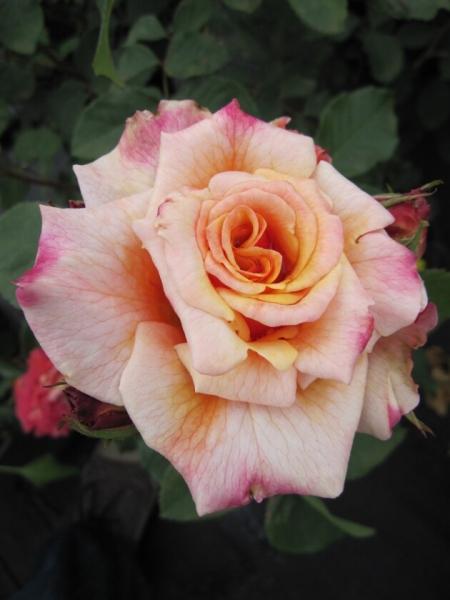 strauchrose rosa caramella m rchenrose bernsteingelb duft 40cm diese edelrose bestellen sie. Black Bedroom Furniture Sets. Home Design Ideas