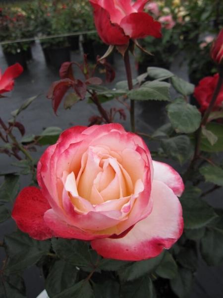 edelrose rosa nostalgie moderne teehybride cremewei kirschfarbener rand duft 40cm diese. Black Bedroom Furniture Sets. Home Design Ideas