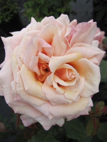 edelrose rosa paul ricard teehybride romantik rose pastellgelb bernsteingelb duft 40cm. Black Bedroom Furniture Sets. Home Design Ideas