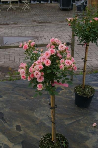 hochstammrose rosa pink parade stammrose rosa duft 90cm. Black Bedroom Furniture Sets. Home Design Ideas
