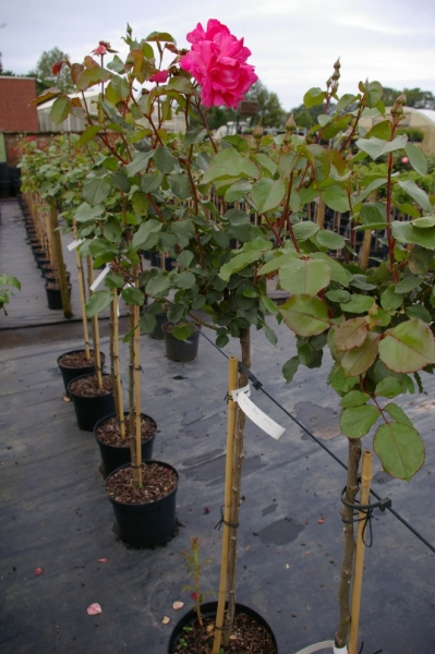 Hochstammrose rosa tom tom moderne floribunda stammrose for Moderne beetbepflanzung