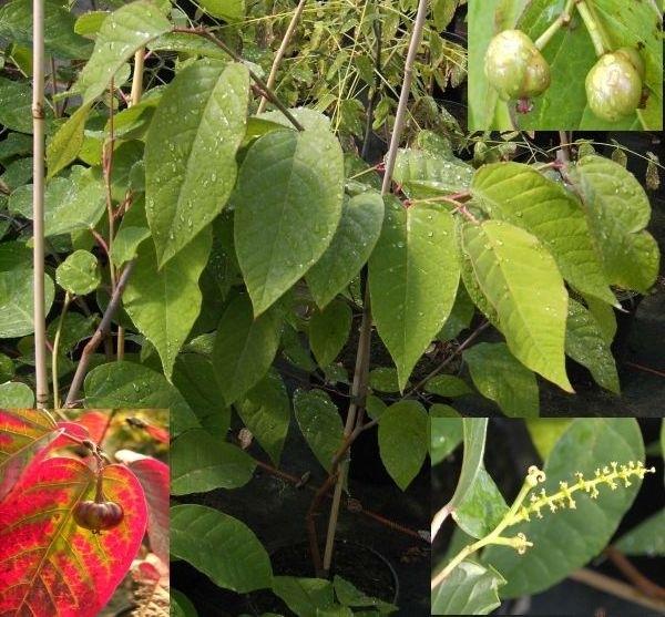 Sapium japonicum japanischer saftbaum talgbaum strauch for Japanischer ziergarten