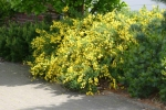 "Cytisus scoparius ""Golden Sunlight"" (40-60 cm) Gelber Ginster"