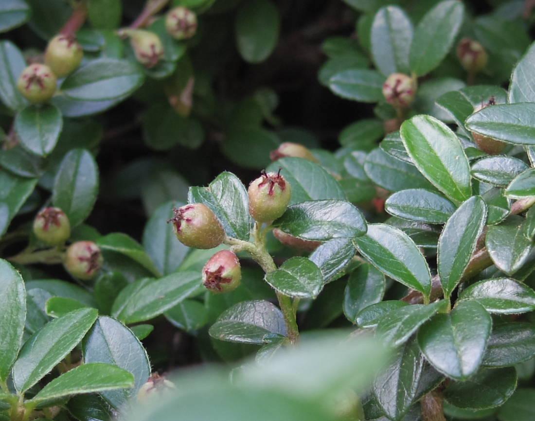 Cotoneaster die zwergmispel als meist immergr nes for Evergreen pflanzen