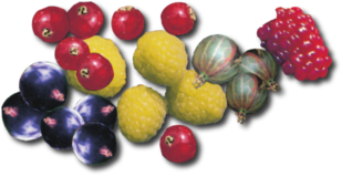 Beerenobst Sträucher online bestellen